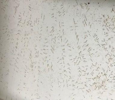 Larvae breeding at Liberia national malaria control program (NMCP) insectary.